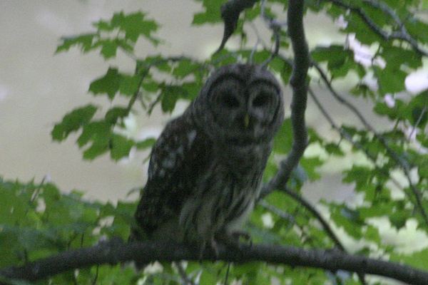 Night Sounds, Pt 1 – Barred Owls – Stan Courtney